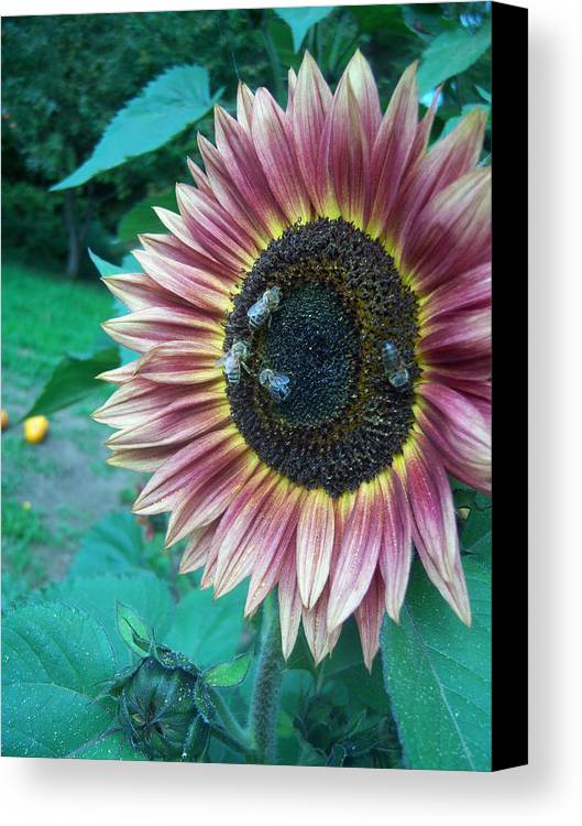 Bees Canvas Print featuring the photograph Bees On Sunflower 109 by Ken Day