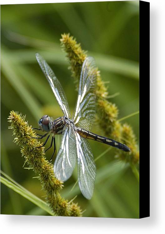 Dragonfly Canvas Print featuring the photograph Blue Dasher Dragonfly-female by Neil Doren