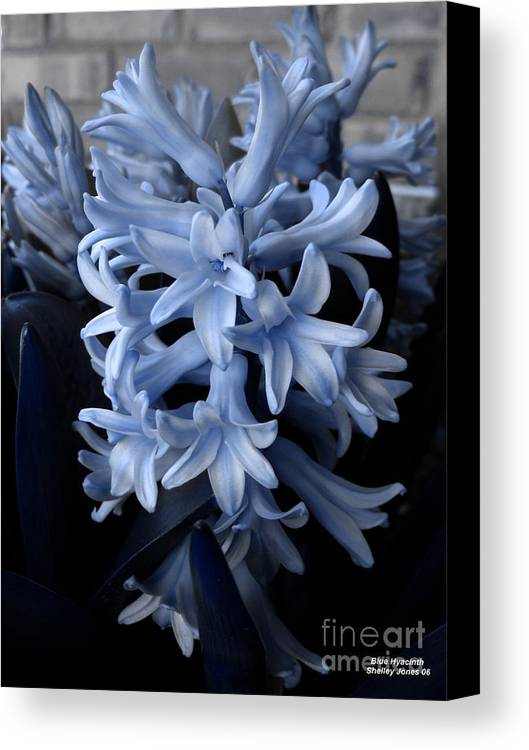 Blue Canvas Print featuring the photograph Blue Hyacinth by Shelley Jones