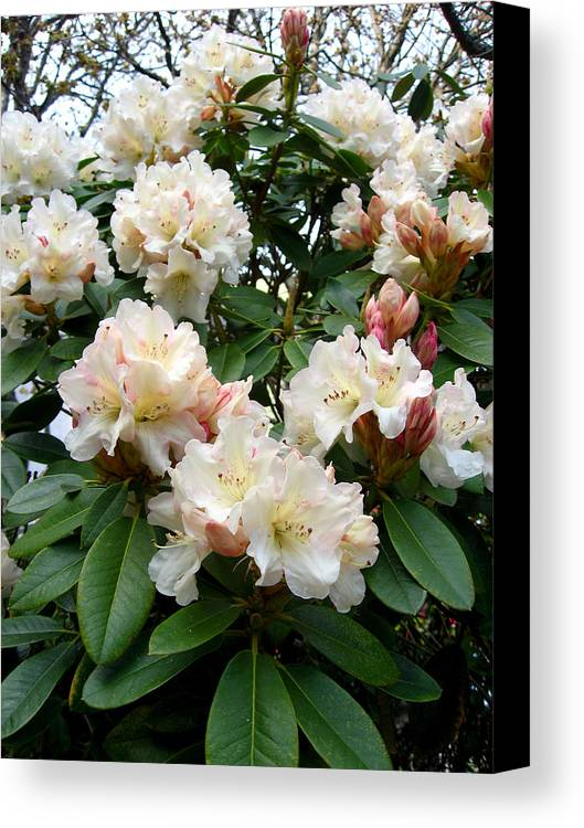 Rhododendrons Canvas Print featuring the photograph Cascade by Aliza Souleyeva-Alexander