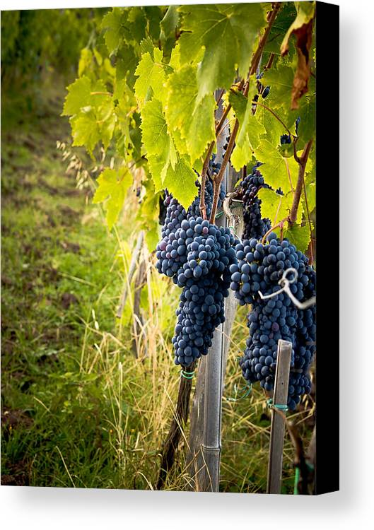 Grapes Canvas Print featuring the photograph Chianti Grapes by Jim DeLillo