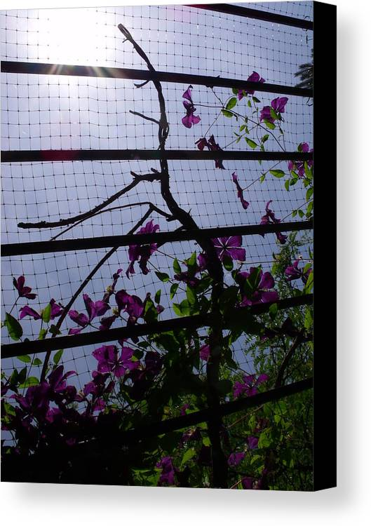 Purple Canvas Print featuring the photograph Clematis II by Anna Villarreal Garbis