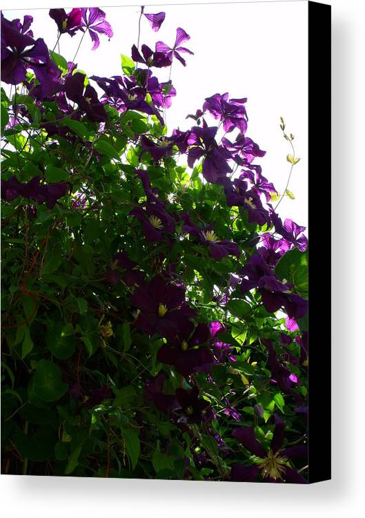 Purple Canvas Print featuring the photograph Clematis IIi by Anna Villarreal Garbis