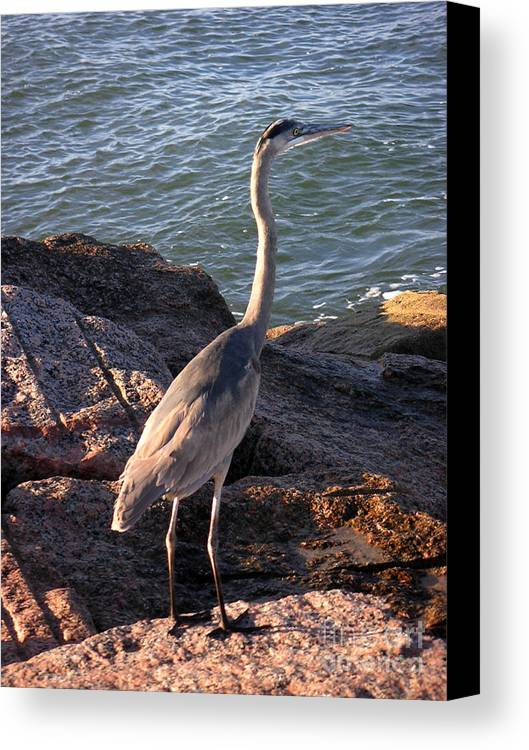 Nature Canvas Print featuring the photograph Creatures Of The Gulf - Ever Watchful by Lucyna A M Green