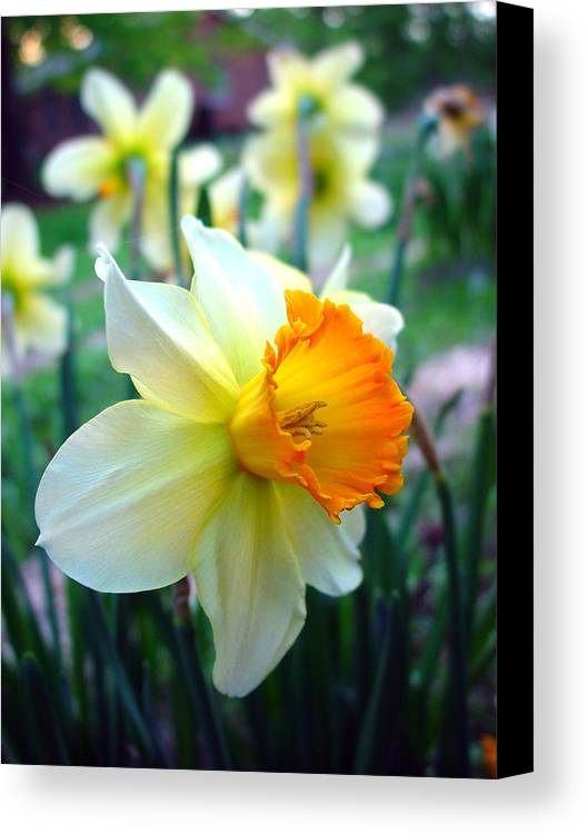 Daffodil Canvas Print featuring the photograph Daffodil 2 by Sharon Crawford