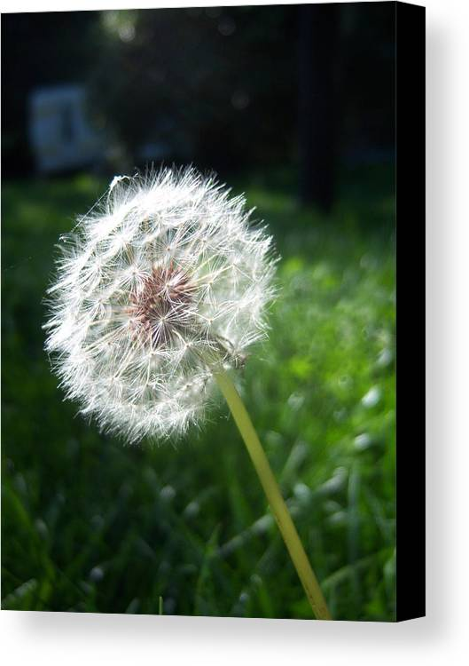 Dandelion Canvas Print featuring the photograph Dandelion Seeds 101 by Ken Day