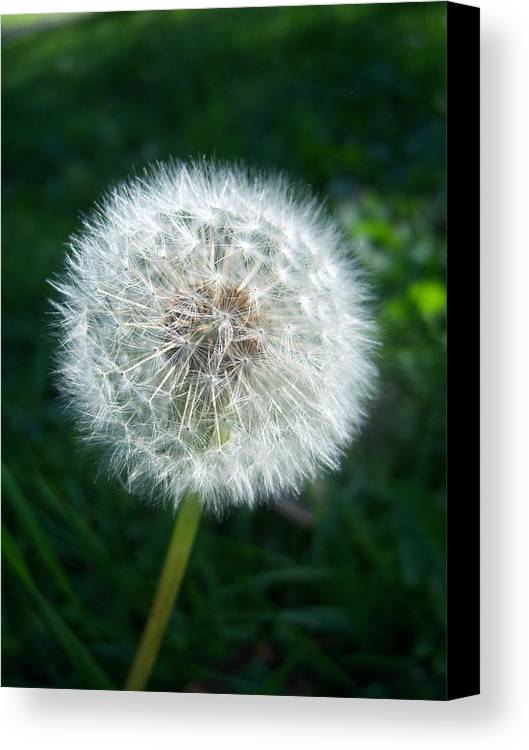 Dandelion Canvas Print featuring the photograph Dandelion Seeds 107 by Ken Day