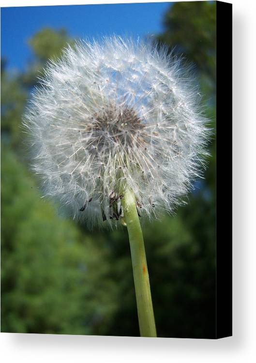 Dandelion Canvas Print featuring the photograph Dandelion Seeds 110 by Ken Day