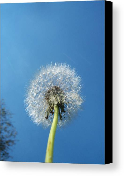 Dandelion Canvas Print featuring the photograph Dandelion Seeds 115 by Ken Day