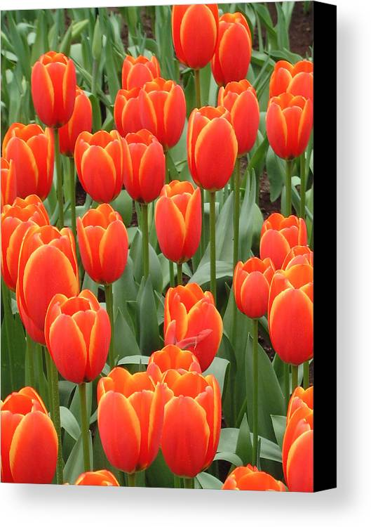Netherlands Canvas Print featuring the photograph Dutch Tulips by Charles Ridgway
