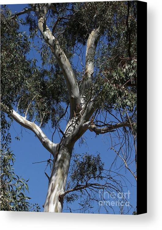 Trees Canvas Print featuring the photograph Eucalyptus by Kathy McClure