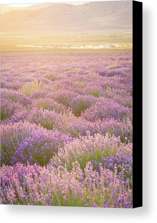 Lavender Canvas Print featuring the photograph Fields Of Lavender by Emily Dickey