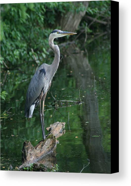 Landscape Water Bird Nature Wildlife Crane Great Blue Heron Canvas Print featuring the photograph Great Blue Heron by Dawn Downour