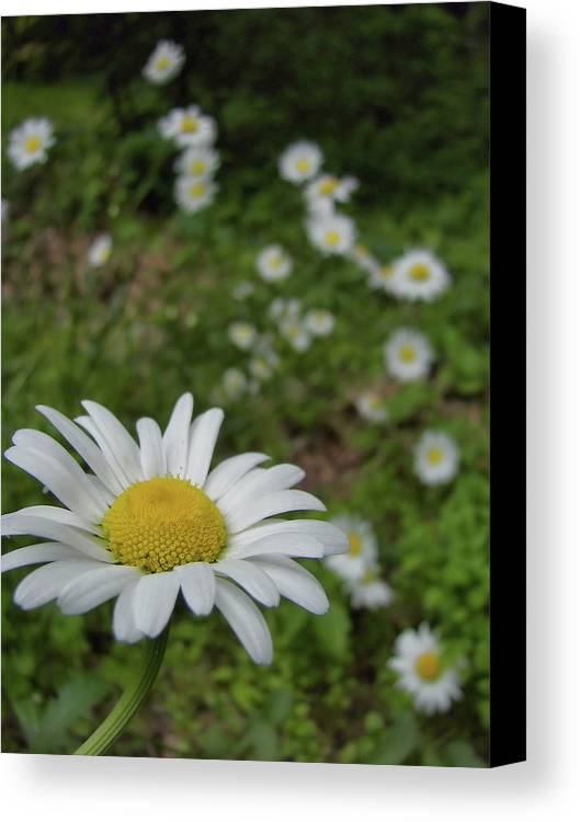 Daisy Canvas Print featuring the photograph Happy Daisy by JAMART Photography
