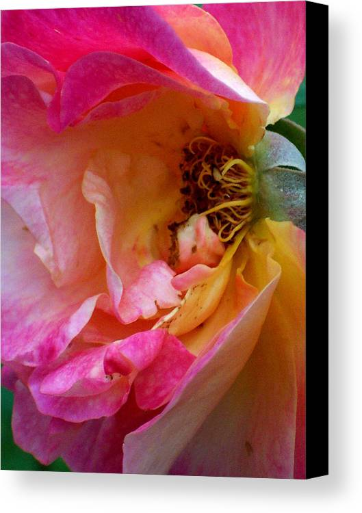 Rose Canvas Print featuring the photograph Inside Out by Robin Jacobs
