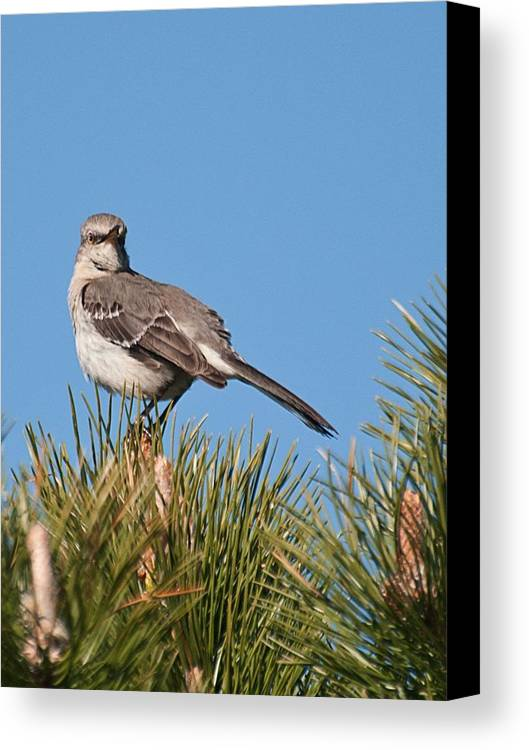 Canvas Print featuring the photograph Mockingbird 01 by Robert Hayes