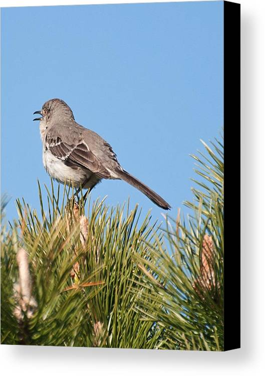 Canvas Print featuring the photograph Mockingbird 02 by Robert Hayes
