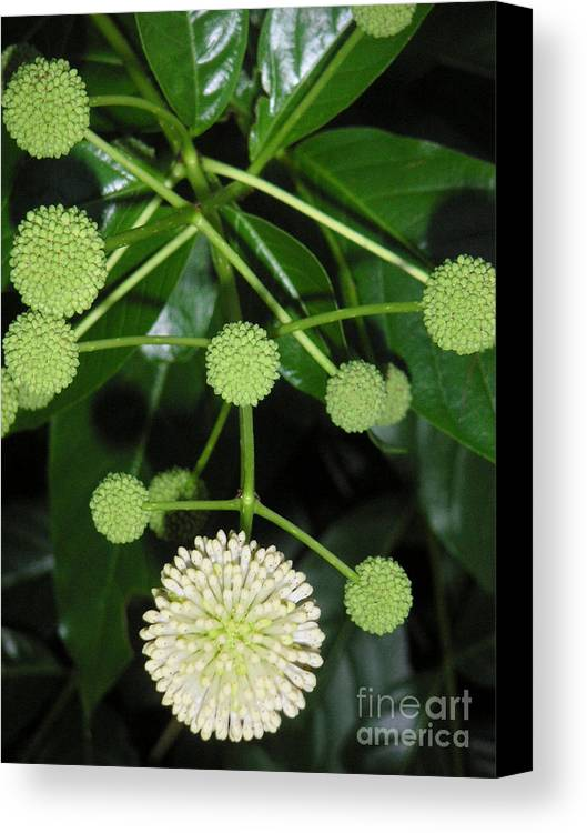 Nature Canvas Print featuring the photograph Nature In The Wild - Natural Pom Poms by Lucyna A M Green