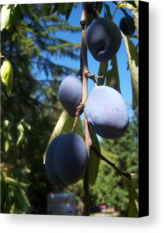 Plum Canvas Print featuring the photograph Plum Branch by Ken Day
