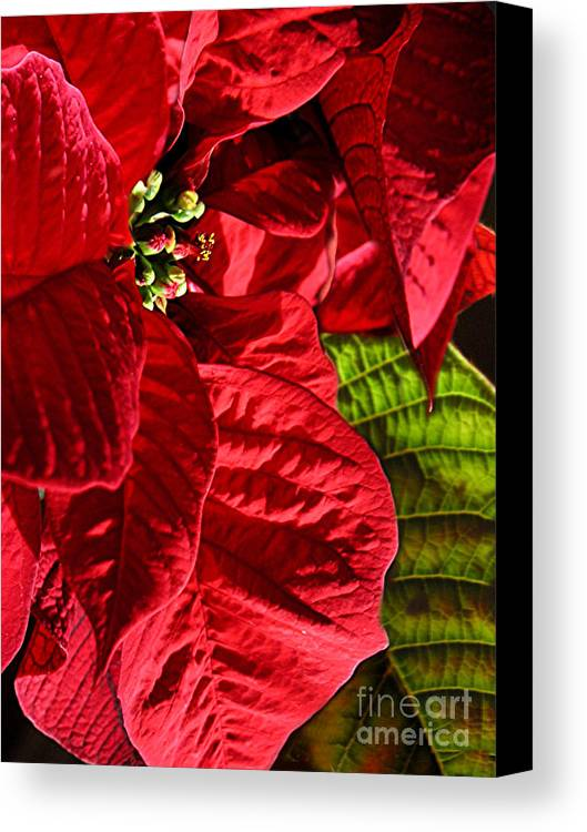Nature Canvas Print featuring the photograph Poinsettias - Flaming Reds by Lucyna A M Green