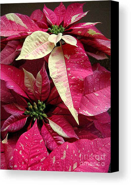Nature Canvas Print featuring the photograph Poinsettias - Painted And Speckled by Lucyna A M Green