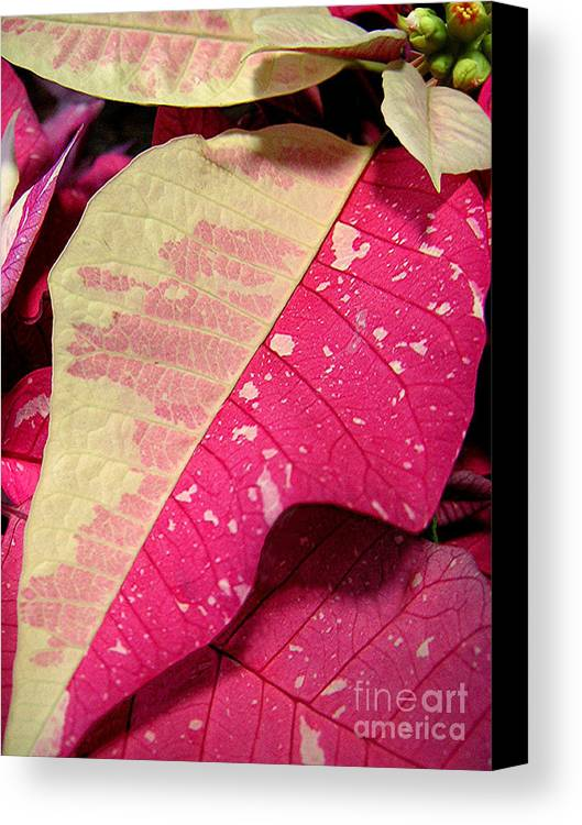 Nature Canvas Print featuring the photograph Poinsettias - Painted And Speckled Up Close Too by Lucyna A M Green
