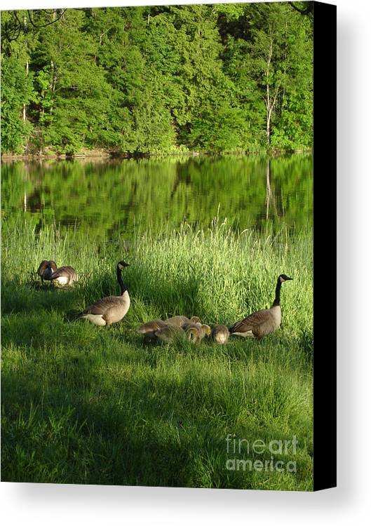 Quack Quack Quack Goes The Geese Photograph Photography Canvas Print featuring the photograph Quack Quack Quack Goes The Geese by Daniel Henning