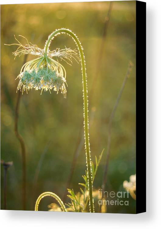 Queen Anne's Lace Canvas Print featuring the photograph Queen Anne's Lace In Evening by Rowena Throckmorton