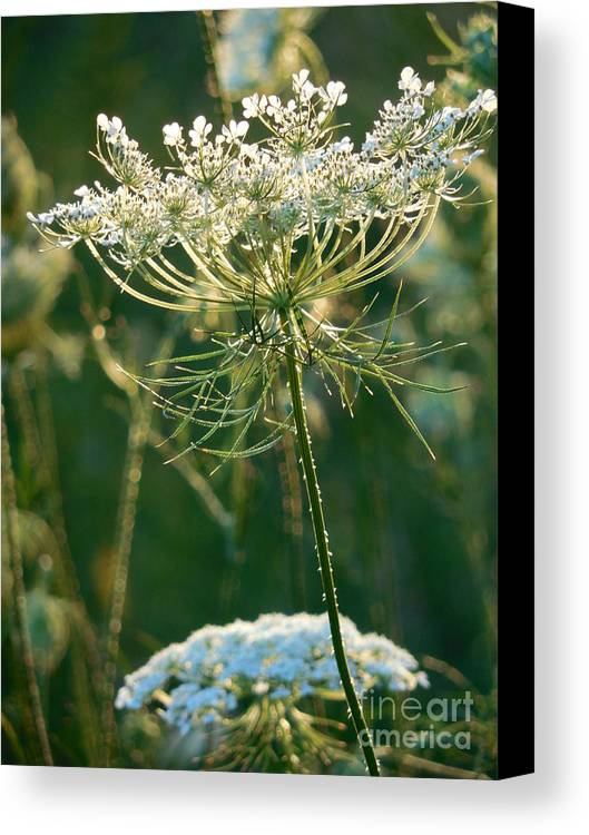 Queen Anne's Lace Canvas Print featuring the photograph Queen Anne's Lace In Green Vertical by Rowena Throckmorton