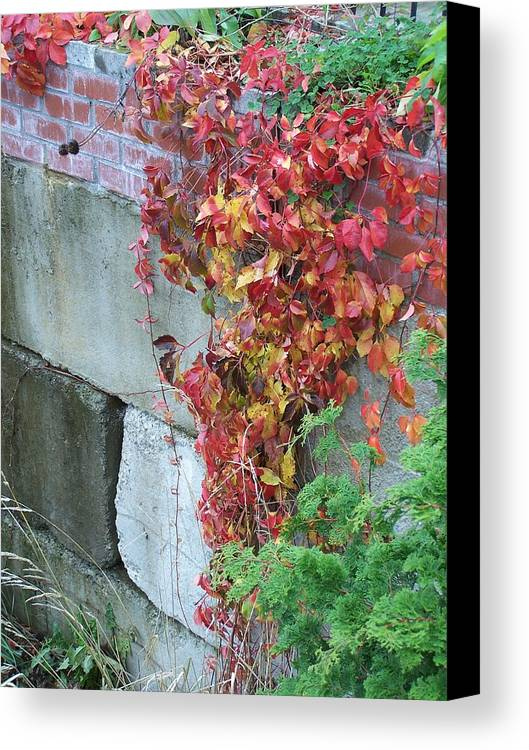 Red Leaves Canvas Print featuring the photograph Red Ivy by Gene Ritchhart