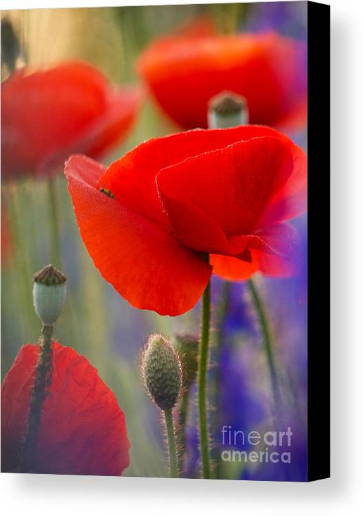 Poppies Canvas Print featuring the photograph Red Poppies by Rachel Morrison