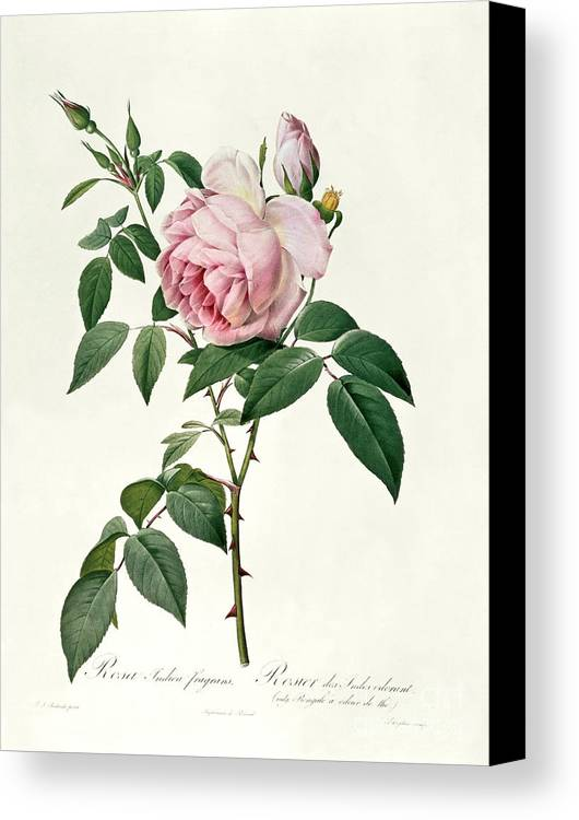 Rosa Canvas Print featuring the drawing Rosa Chinensis And Rosa Gigantea by Joseph Pierre Redoute