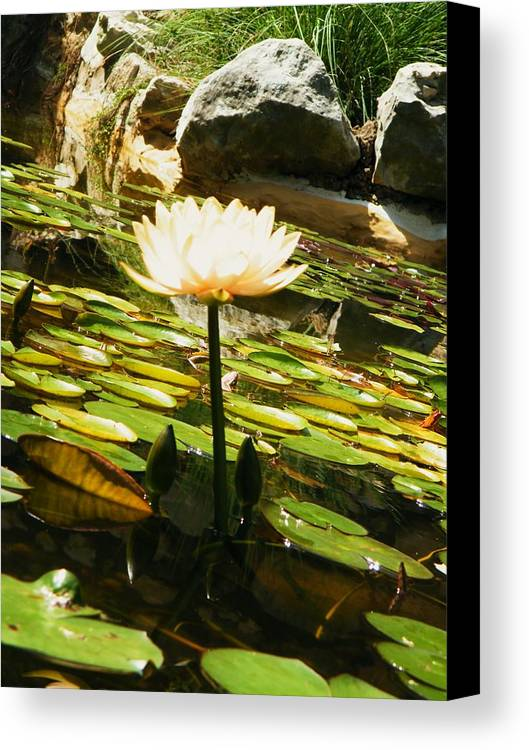 Simply Beautiful. Canvas Print featuring the photograph Simply Beautiful. by Nereida Slesarchik Cedeno Wilcoxon