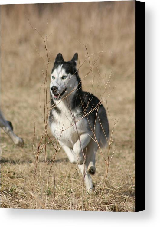 Animal Canvas Print featuring the photograph Speed Freak by David Dunham