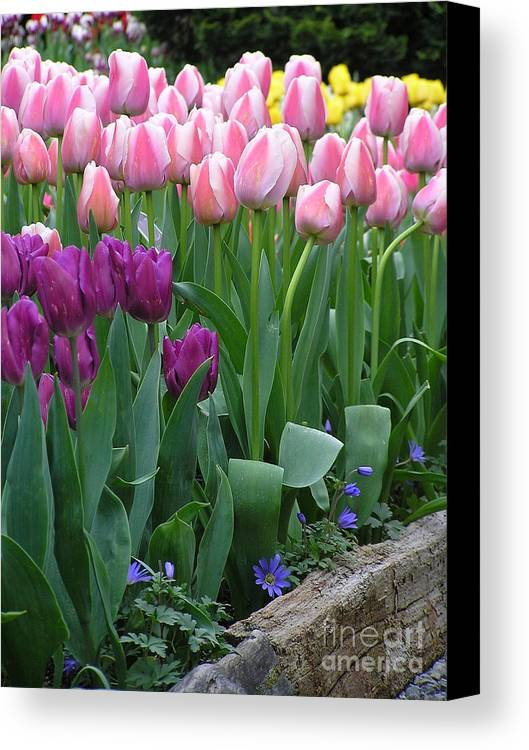 Tulips Canvas Print featuring the photograph Spring Colors by Louise Magno