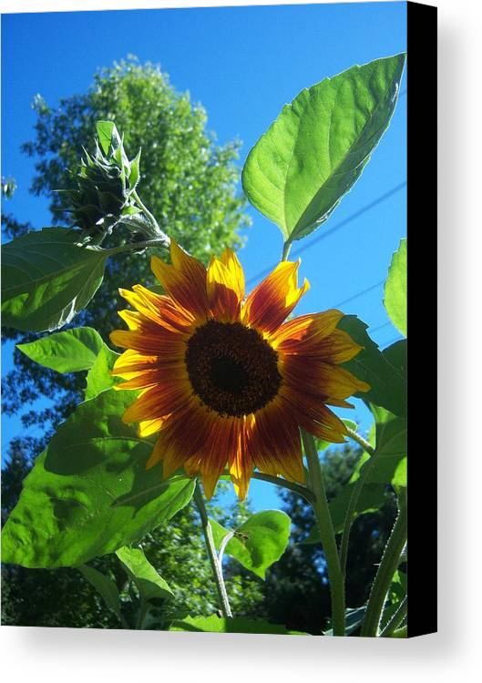 Sun Canvas Print featuring the photograph Sunflower 120 by Ken Day