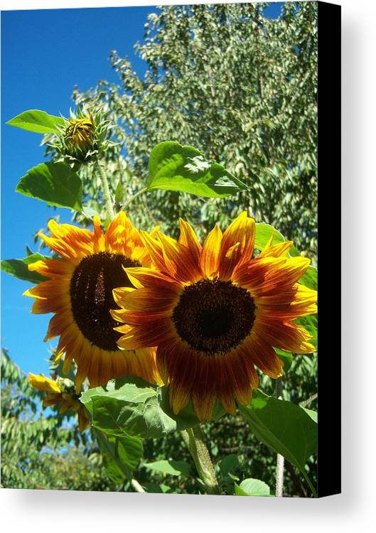 Sun Canvas Print featuring the photograph Sunflower 132 by Ken Day
