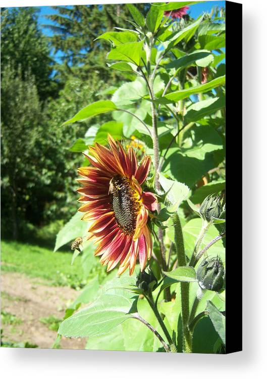 Sun Canvas Print featuring the photograph Sunflower 137 by Ken Day