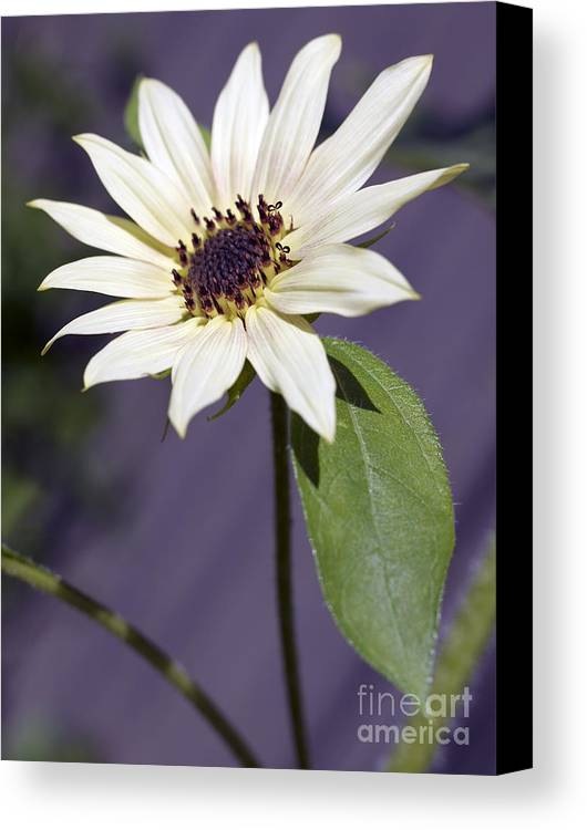 Helianthus Annus Canvas Print featuring the photograph Sunflower by Tony Cordoza