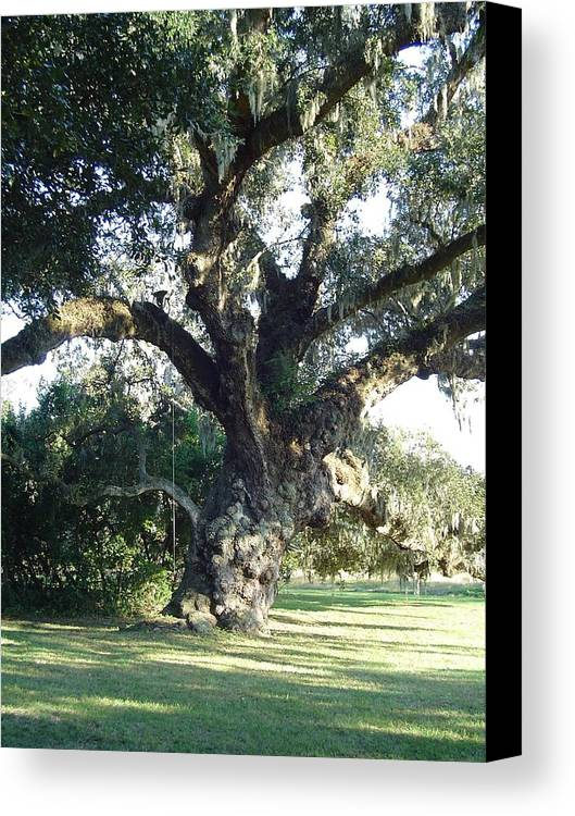 Landscape Canvas Print featuring the photograph The Old Oak Tree by Richard Marcus