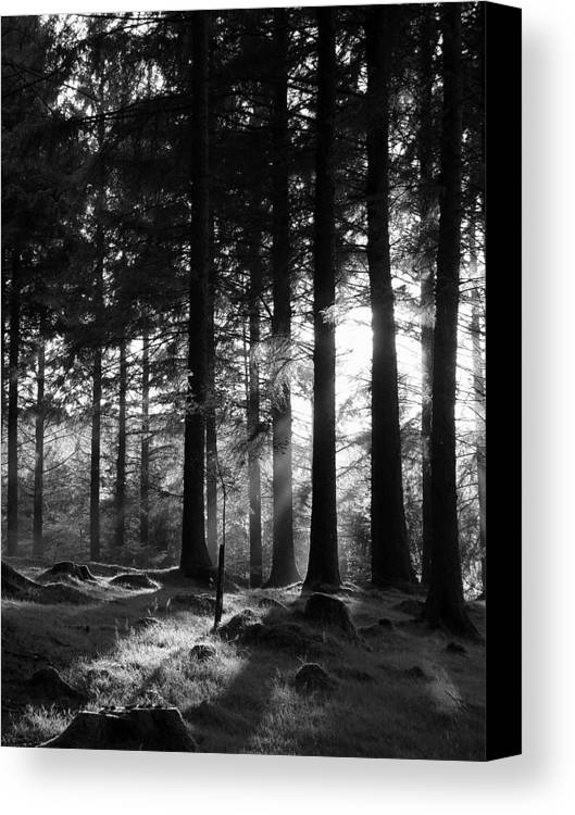 Trees Forest Woods Mono Sapling Evening Light Dusk Rays Light Canvas Print featuring the photograph The Sapling by Lloyd Burchell