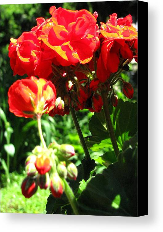 Geraniums Canvas Print featuring the photograph Turned Away by Belinda Consten