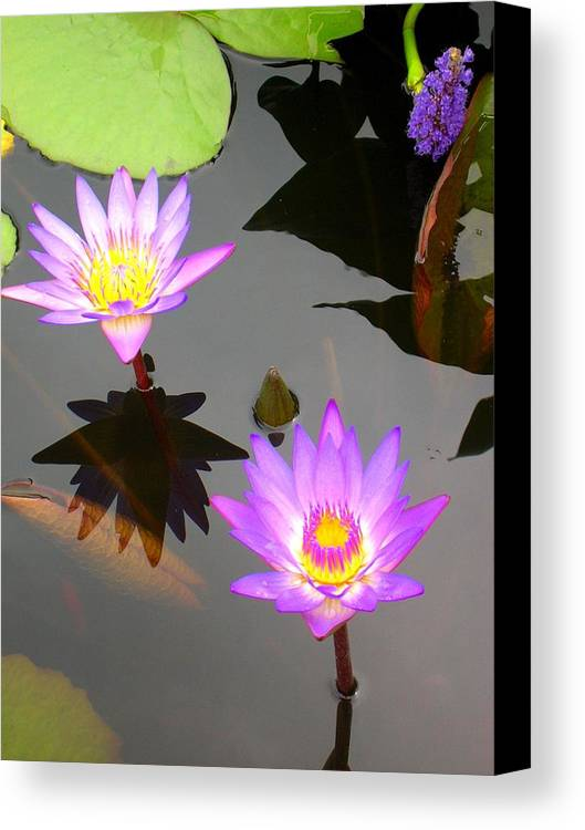 Water Lilies Canvas Print featuring the photograph Water Lilies by Caroline Urbania Naeem