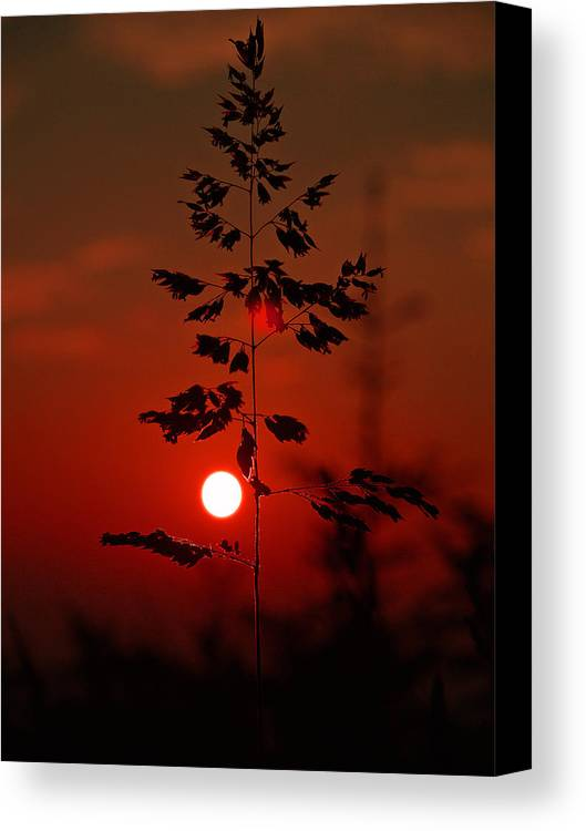 Sunset Canvas Print featuring the photograph Weed by Itai Minovitz