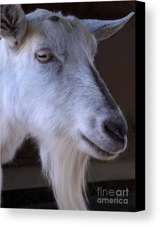 Goat Canvas Print featuring the photograph Winsome Goat by Ann Horn