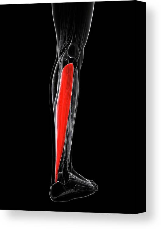 Artwork Canvas Print featuring the photograph Calf Muscle by Sciepro/science Photo Library