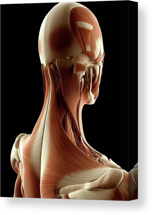 Artwork Canvas Print featuring the photograph Human Head And Neck by Sebastian Kaulitzki