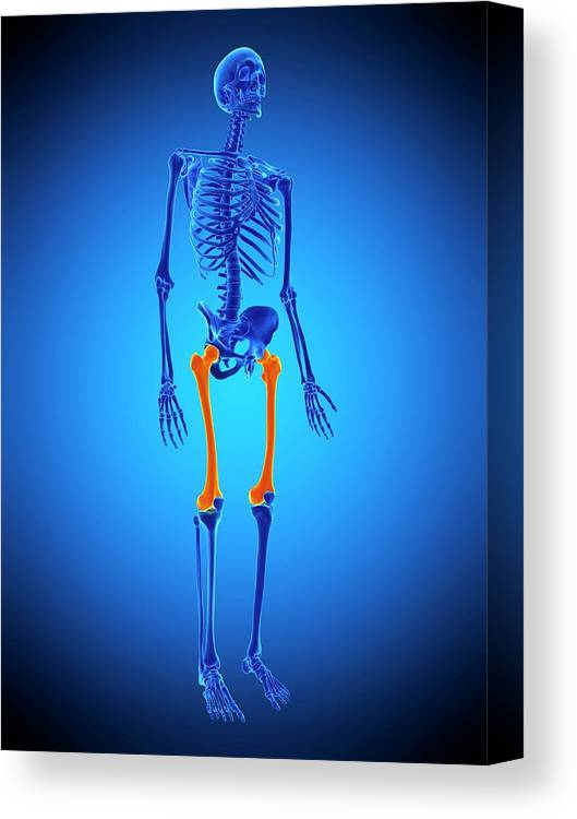 Artwork Canvas Print featuring the photograph Thigh Bones by Sebastian Kaulitzki/science Photo Library