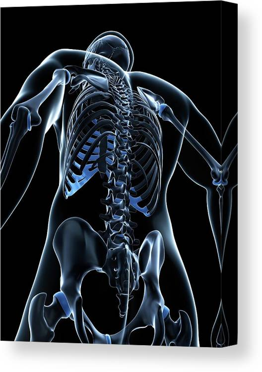 Healthy Canvas Print featuring the photograph Male Skeleton by Sciepro/science Photo Library