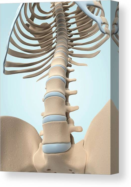 Healthy Canvas Print featuring the photograph Human Spine by Sciepro/science Photo Library